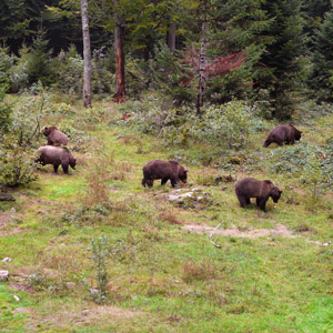 Coastal Alaska Brown Bear Hunts Trophy Brown Bears