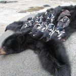 Alaska Black Bear Hunting