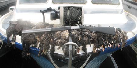 Alaska Sea Duck Hunting Info