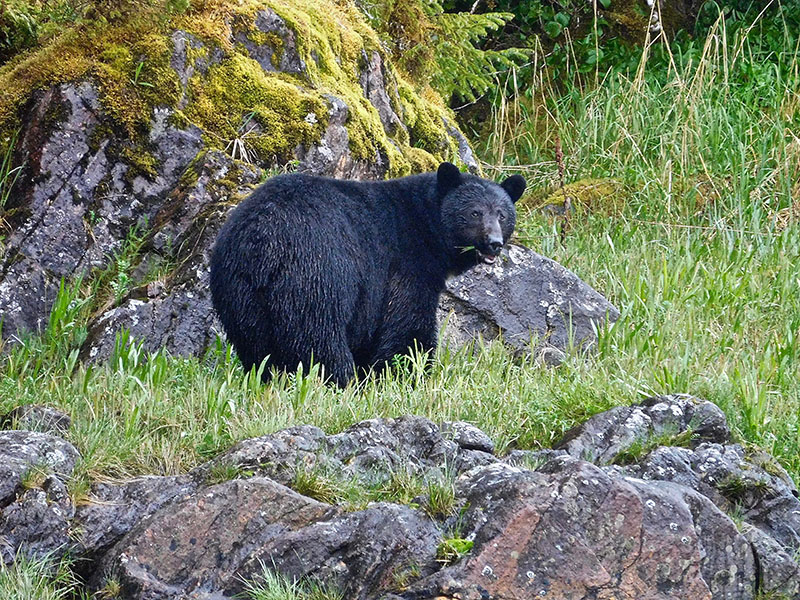 Alaska Black bear hunting Guide